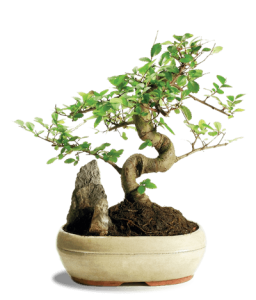 simplisit asset management bonsais growing bonsai tree